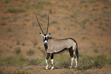 Gemsbok (South African Oryx) (Oryx Gazella)