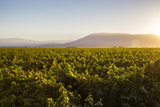 Vineyards in San Joaquin Valley  California  United States of America  North America
