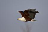 African Fish Eagle (Haliaeetus Vocifer) in Flight  Kruger National Park  South Africa  Africa