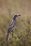 African Grey Hornbill (African Gray Hornbill) (Tockus Nasutus)