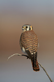 American Kestrel (Sparrow Hawk) (Falco Sparverius) Female