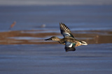Northern Shoveler (Anas Clypeata) in Flight