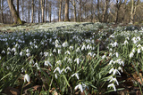 Snowdrops in Woodland  Near Stow-On-The-Wold  Cotswolds  Gloucestershire  England  UK