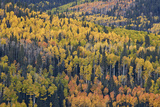 Yellow and Orange Hillside of Aspen in the Fall  Uncompahgre National Forest  Colorado  Usa