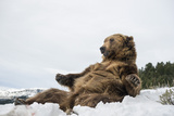 Brown Bear (Grizzly) (Ursus Arctos)  Montana  United States of America  North America
