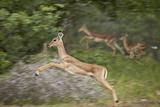 Female Impala (Aepyceros Melampus) Running  Kruger National Park  South Africa  Africa