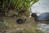 Coot (Fulica)  Young Chick Feeding  Gloucestershire  England  United Kingdom