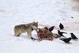 Gray Wolf (Canis Lupus) 870F of the Junction Butte Pack at an Elk Carcass in the Winter