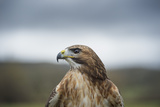 Red-Tailed Hawk (Buteo Jamaicensis)  Bird of Prey  Herefordshire  England  United Kingdom