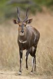 Bushbuck (Imbabala) (Tragelaphus Sylvaticus) Buck  Kruger National Park  South Africa  Africa