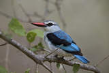 Woodland Kingfisher (Halcyon Senegalensis)  Kruger National Park  South Africa  Africa