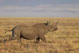 Black Rhinoceros (Hook-Lipped Rhinoceros) (Diceros Bicornis) Running
