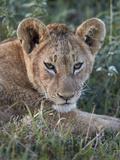 Lion (Panthera Leo) Cub  Ngorongoro Crater  Tanzania  East Africa  Africa