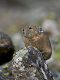 American Pika (Ochotona Princeps)  Uncompahgre National Forest  Colorado  Usa