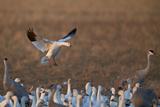 Snow Goose (Chen Caerulescens) Landing