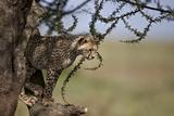 Cheetah (Acinonyx Jubatus) Cub in an Acacia Tree