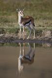 Thomson's Gazelle (Gazella Thomsonii) Buck with Reflection