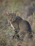 African Wild Cat (Felis Silvestris Lybica)  Kruger National Park  South Africa  Africa