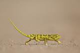 Flap-Necked Chameleon (Flap Neck Chameleon) (Chamaeleo Dilepis)