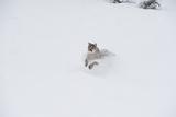Mountain Lion (Puma) (Cougar) (Puma Concolor)  Montana  United States of America  North America