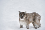 Mountain Lion (Puma) (Cougar) (Puma Concolor)  Montana  United States of America  North America