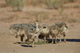 Common Ostrich (Struthio Camelus) Chicks
