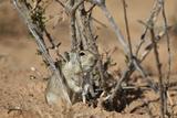 Brant's Whistling Rat (Parotomys Brantsii)