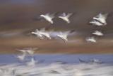 Snow Goose (Chen Caerulescens) Flock in Flight