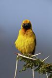 Lesser Masked Weaver (Ploceus Intermedius)  Ngorongoro Crater  Tanzania  East Africa  Africa