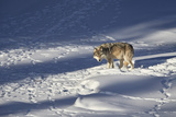 Gray Wolf (Canis Lupus) 870F of the Junction Butte Pack in the Winter