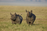 Black Rhinoceros (Hook-Lipped Rhinoceros) (Diceros Bicornis) Pair