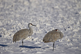 Two Sandhill Crane (Grus Canadensis) in the Snow