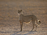 Cheetah (Acinonyx Jubatus) Backlit on the Dry Auob River