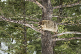 Racoon (Raccoon) (Procyon Lotor)  Montana  United States of America  North America
