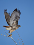 Red-Tailed Hawk (Buteo Jamaicensis) Taking Off