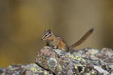 Uinta Chipmunk (Tamias Umbrinus)  Uncompahgre National Forest  Colorado  Usa