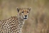 Cheetah (Acinonyx Jubatus)  Serengeti National Park  Tanzania  East Africa  Africa