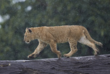 Lion (Panthera Leo) Cub on a Downed Tree Trunk in the Rain