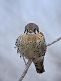 American Kestrel (Sparrow Hawk) (Falco Sparverius)