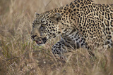 Leopard (Panthera Pardus)  Kruger National Park  South Africa  Africa