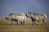 Two Black Rhinoceros (Hook-Lipped Rhinoceros) (Diceros Bicornis)