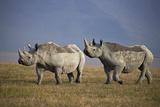 Two Black Rhinoceros (Hook-Lipped Rhinoceros) (Diceros Bicornis)