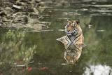 Ustaad  T24  Royal Bengal Tiger (Tigris Tigris)  Ranthambhore  Rajasthan  India