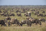 Blue Wildebeest (Brindled Gnu) (Connochaetes Taurinus) Herd