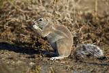 Cape Ground Squirrel (Xerus Inauris) Eating