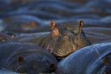Hippopotamus (Hippopotamus Amphibius)  Serengeti National Park  Tanzania  East Africa  Africa