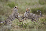 Cheetah (Acinonyx Jubatus) Cubs Playing  Serengeti National Park  Tanzania  East Africa  Africa