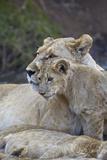 Lion (Panthera Leo) Female and Cub  Ngorongoro Crater  Tanzania  East Africa  Africa