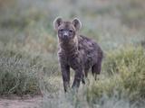 Spotted Hyena (Spotted Hyaena) (Crocuta Crocuta) Juvenile