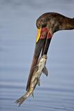 Saddle-Billed Stork (Ephippiorhynchus Senegalensis) with a Fish